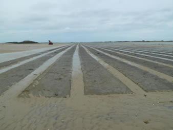 Several rows of clam netting is covering the clam beds.