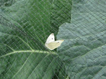 Black extruded square bird netting is covering the cabbage and a butterfly staying on it.