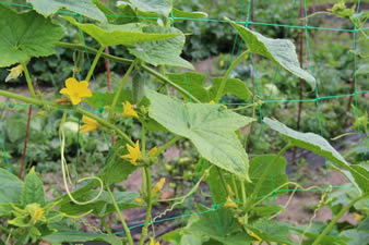 The green extruded garden netting is support the cucumber plants and several yellow flowers on the plants.