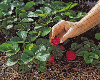 Black extruded garden netting is covering the strawberry plants and a hand is holding a mature strawberry.