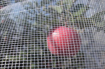 White leno-weaving hail netting is covering the apple tree and a red apple in the netting.
