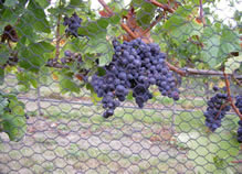Black hexagonal knitted bird netting is installed on the vineyard and several mature grapes in it.